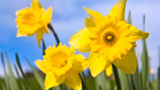 220002_aboutus_Daffodils_16x9[1]